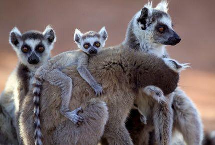 Animaux - Lémuriens - Le maki catta -