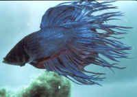 Aquariophilie eau douce - Le poisson combattant -
