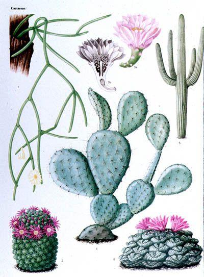 Cactées et plantes succulentes - Les Cactaceae
