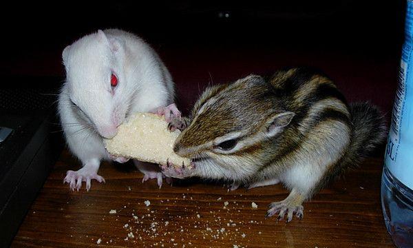 animaux de compagnie - N.A.C. - L'écureuil de Corée -