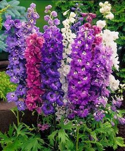 delphinium-magic-fountains.jpg