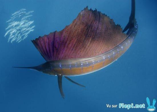 Questions-réponses-Quel est le poisson le plus rapide?