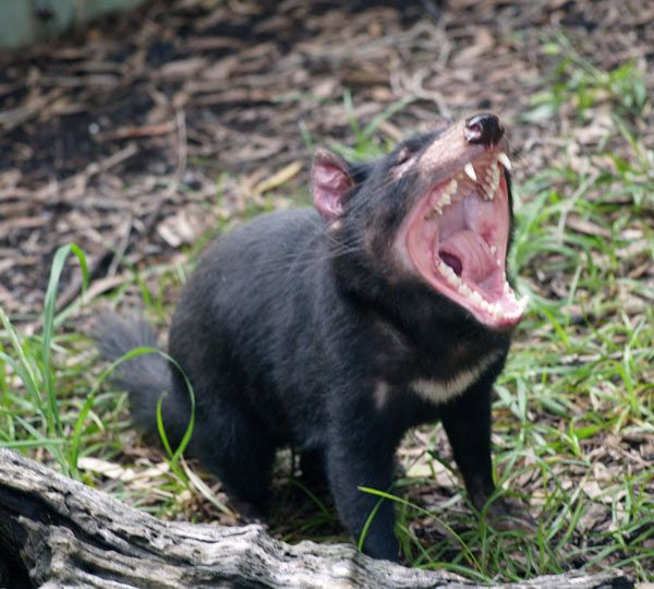 diable-tasmanie-12-178cdbf.jpg
