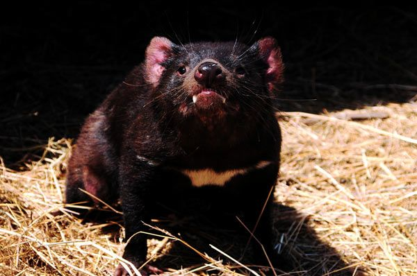 diable-tasmanie-13-178ce11.jpg