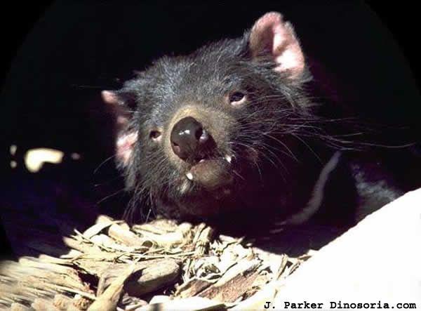 diable-tasmanie-2-178cdda.jpg