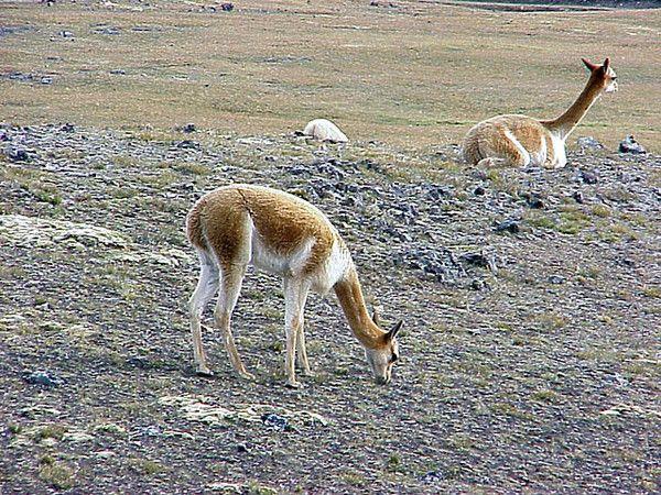 Animaux - Espèces menacées - La vigogne -