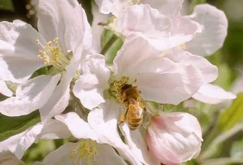 Animaux - Insectes - Abeille -