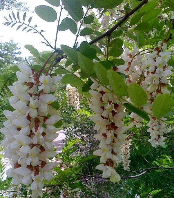 Arbres et arbustes - l'Acacia -