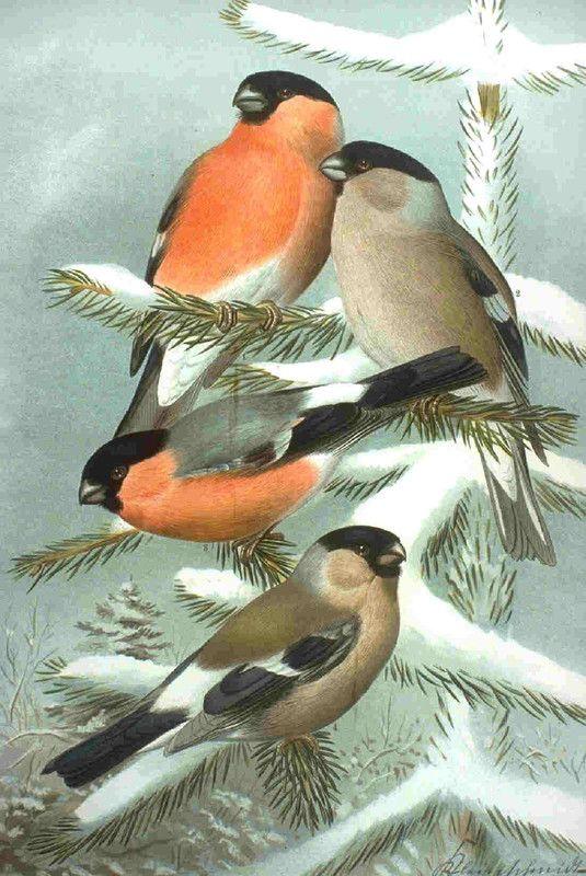 Animaux - Oiseaux - Le Bouvreuil Pivoine -