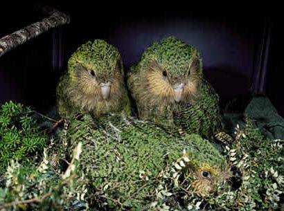 Animaux - Espèces menacées - Le Kakapo -