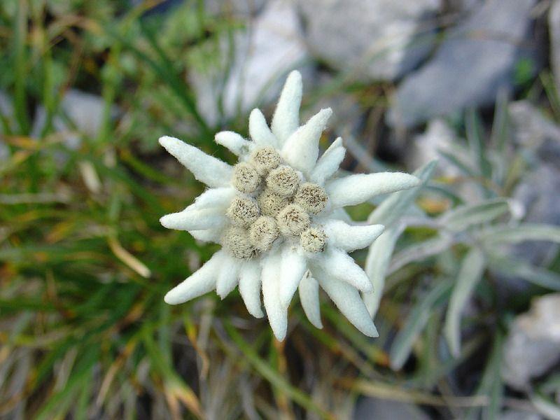 edelweiss2190w.jpg