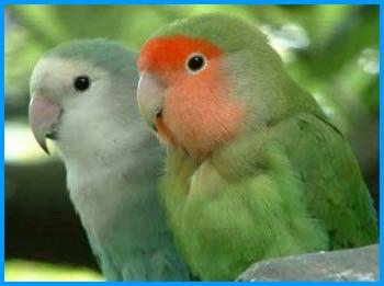 Animaux - Oiseaux - Les Inséparables -