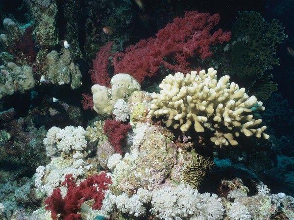 Monde marin - Les coraux -