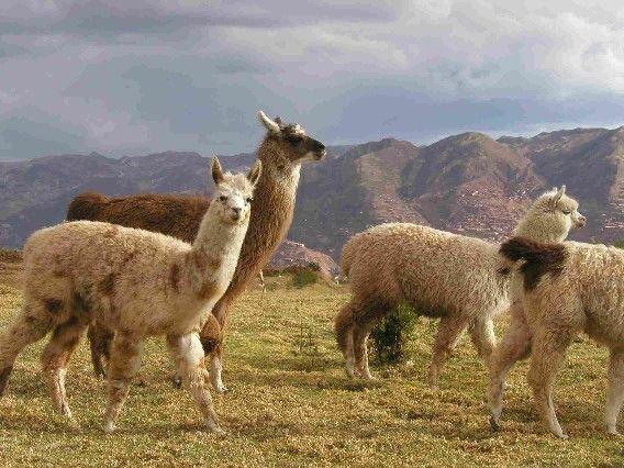Mammifères - Le Lama -