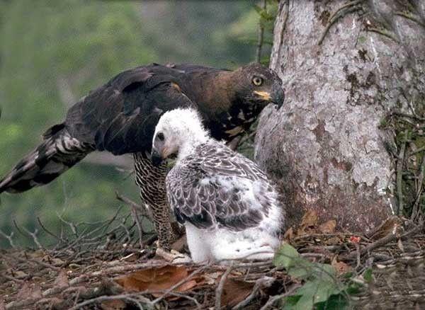 Animaux - Oiseaux - L'Aigle couronné -