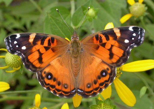 Animaux - Insectes - Papillon - Vanesse des perlières -