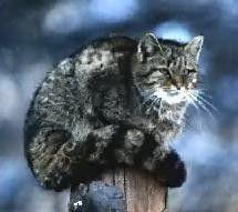 Animaux - Félins - Le Chat sauvage d'Amérique -
