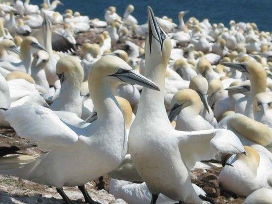 Animaux - Oiseaux - le fou de Bassan -