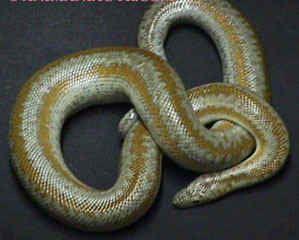 Animaux - Serpents - Boïdés - Boa à trois bandes -