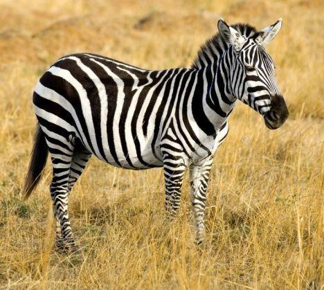 Site de rencontre zebre
