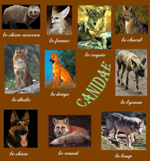 Animaux - canidés - Histoire et évolution -