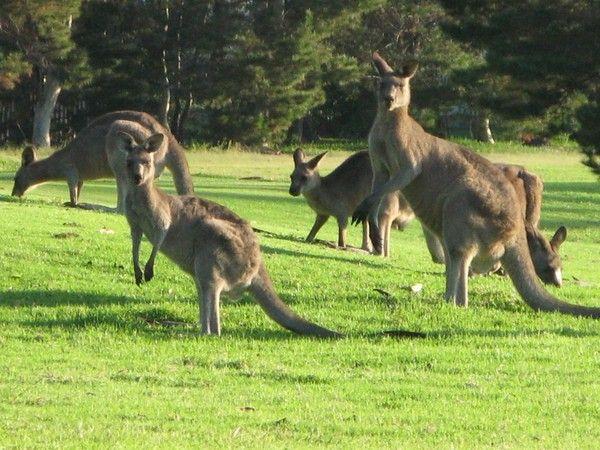 Animaux - Marsupiaux - origines -