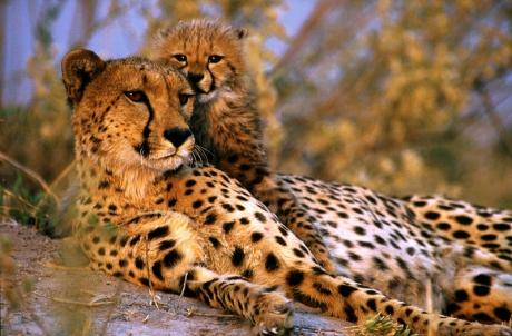 femelle-guepard-et-guepardeau-au-soleil_1249_w460.jpg