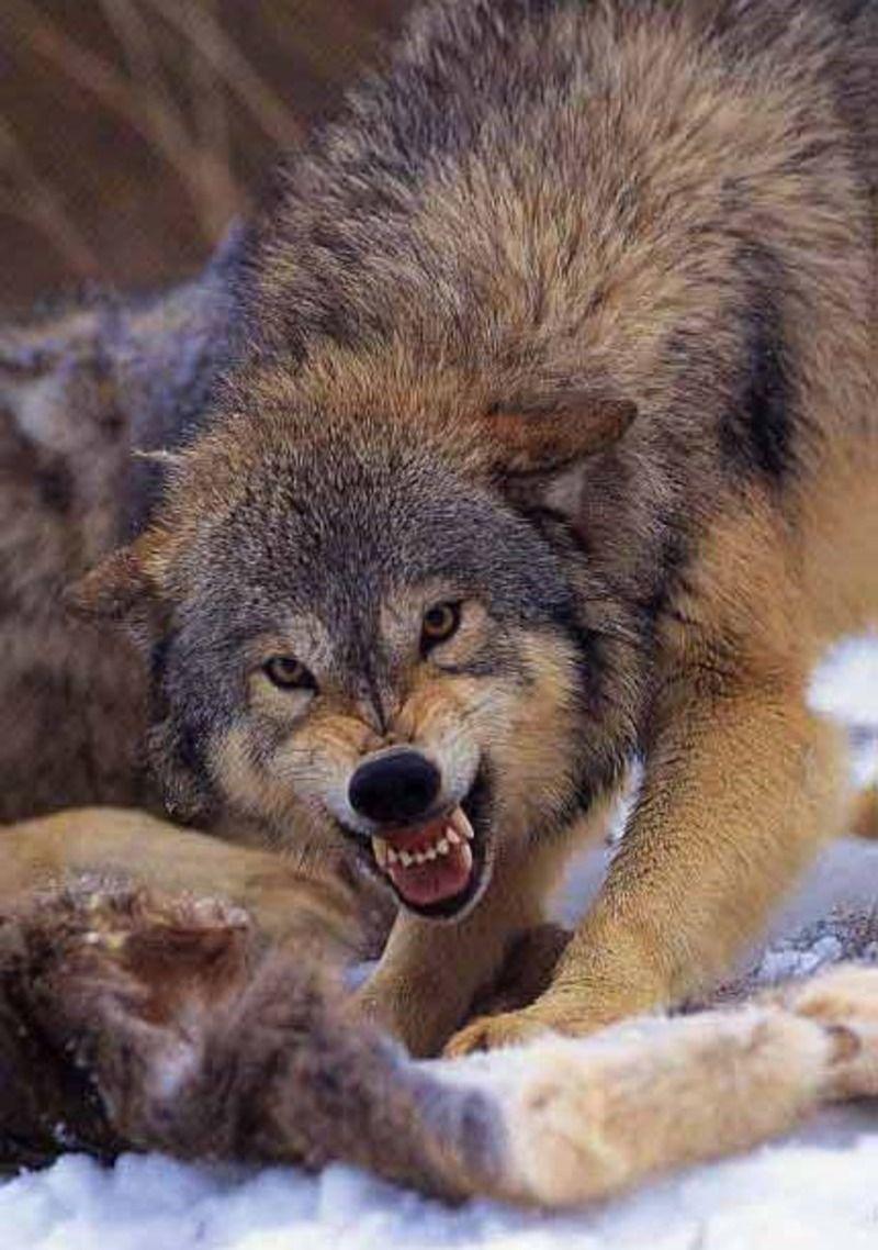 animaux le loup le loup arctique canis lupus mythe du loup garou et autre. Black Bedroom Furniture Sets. Home Design Ideas