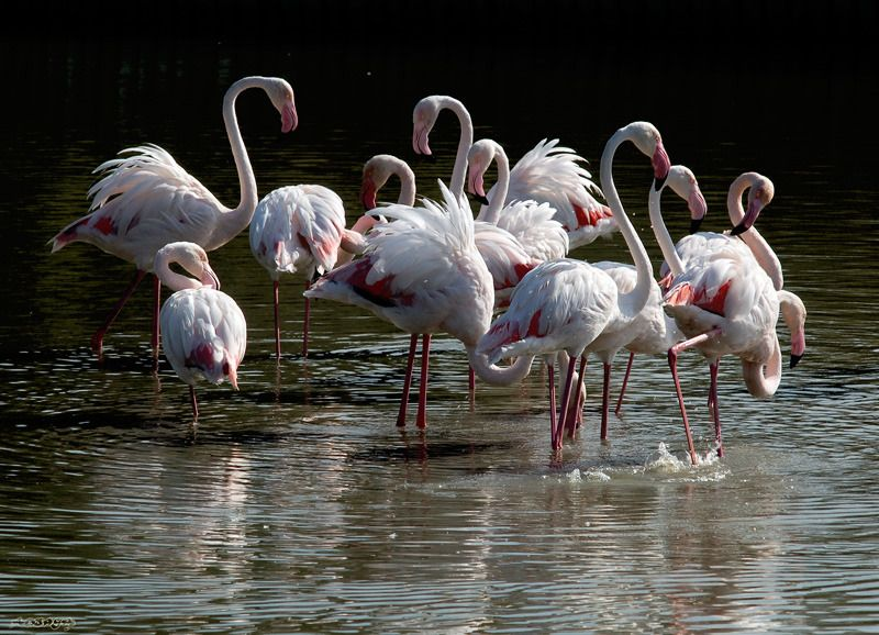 flamand-rose-camargue_.jpg