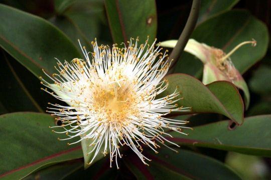 foetidia-mauritiania-.jpg