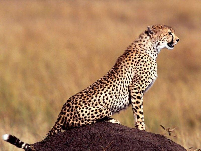 fond-ecran-guepard.jpg