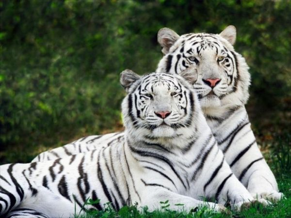 fond-ecran-tigres-blancs.jpg
