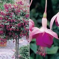 fuchsia-lena-standard-whip-2-plants-in-9cm-pots-plus-free-100g-fertiliser.jpg