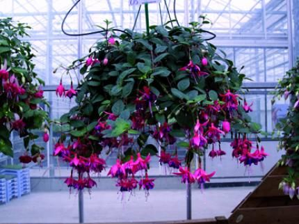 Au jardin le fuchsia for Fushia plante interieur ou exterieur