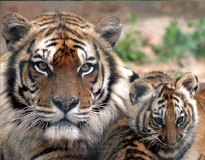 galerie-membre-tigre-tigre-du-bengale-02.jpg