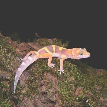 gecko-588786-20e0d88.jpg