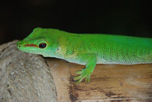 gecko-madagascar-180b482.jpg