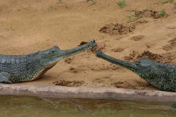 gharial_01-219d3b9.jpg