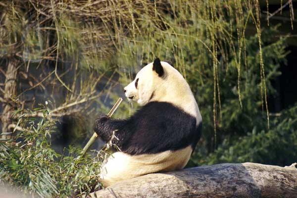 giant_panda-19c0cbd.jpg