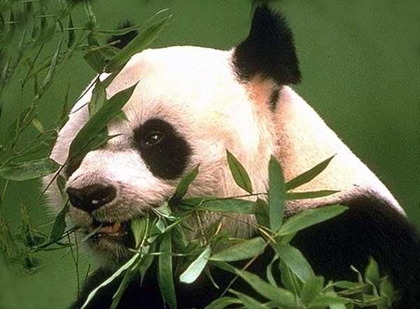 giant_panda_03-4e7166.jpg