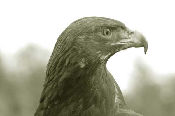 golden_eagle-173c36d.jpg