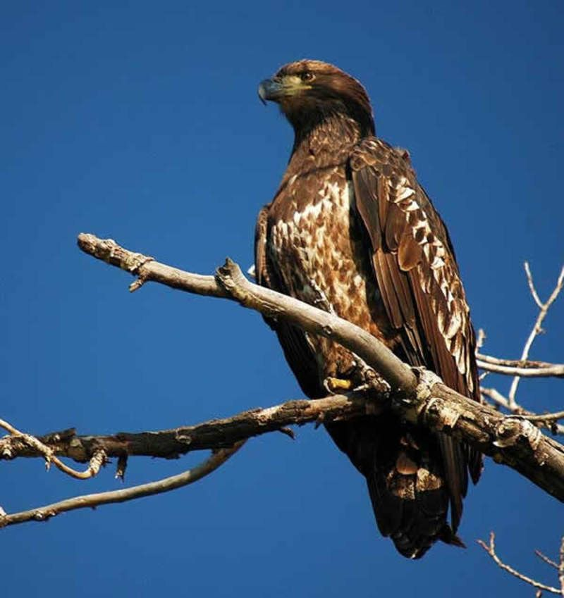 golden_eagle_03-173c408.jpg