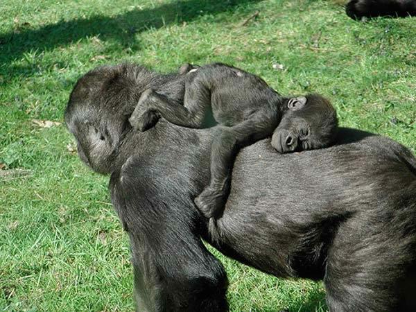 gorille-dort-13a377f.jpg