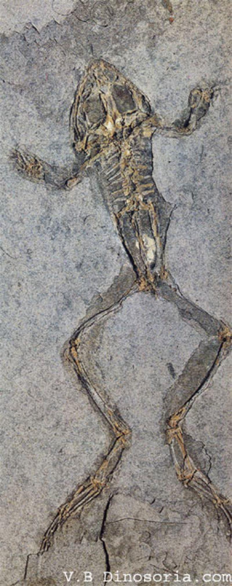 grenouille-fossile-201f771.jpg