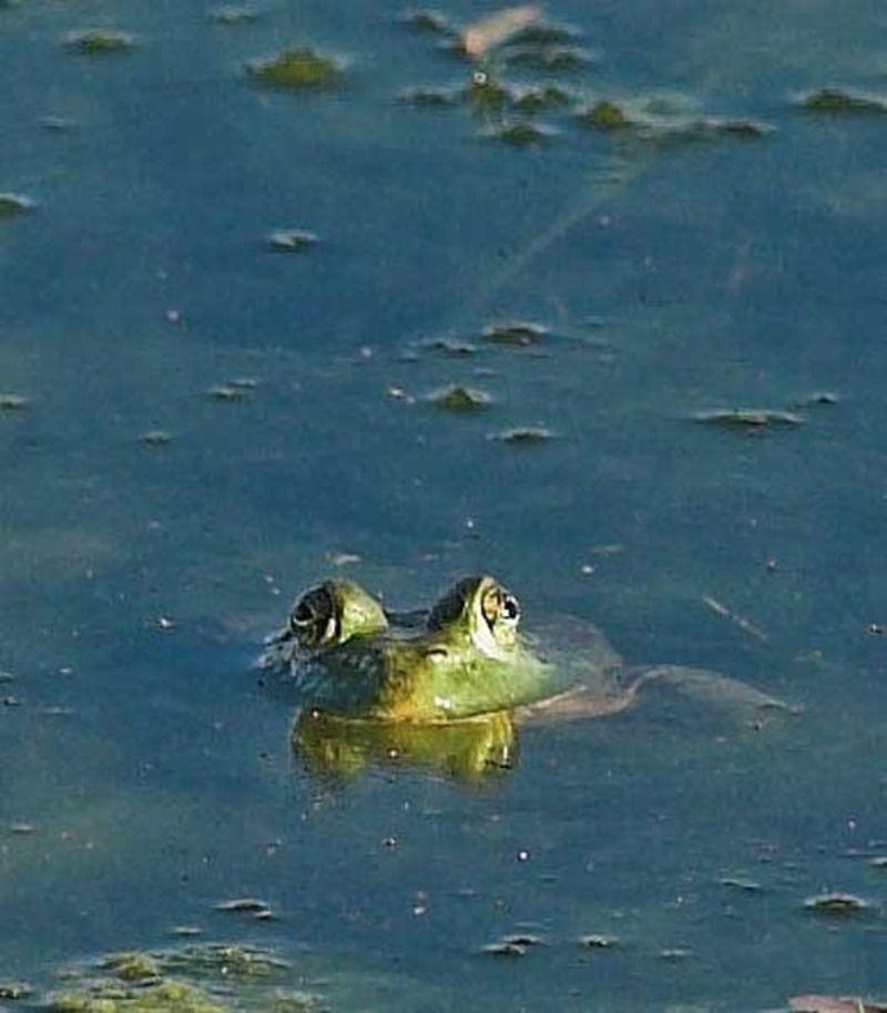 grenouille_taureau_04.jpg