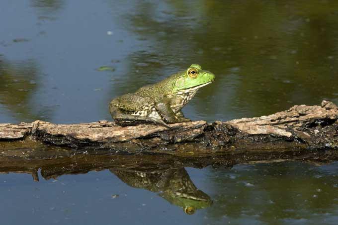 grenouille_taureau_08-11be9aa.jpg