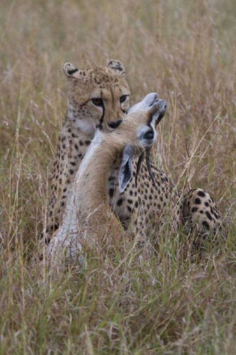 guepard-105.jpg