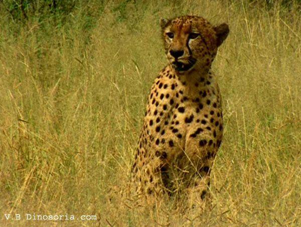 guepard-d-10-129476b.jpg