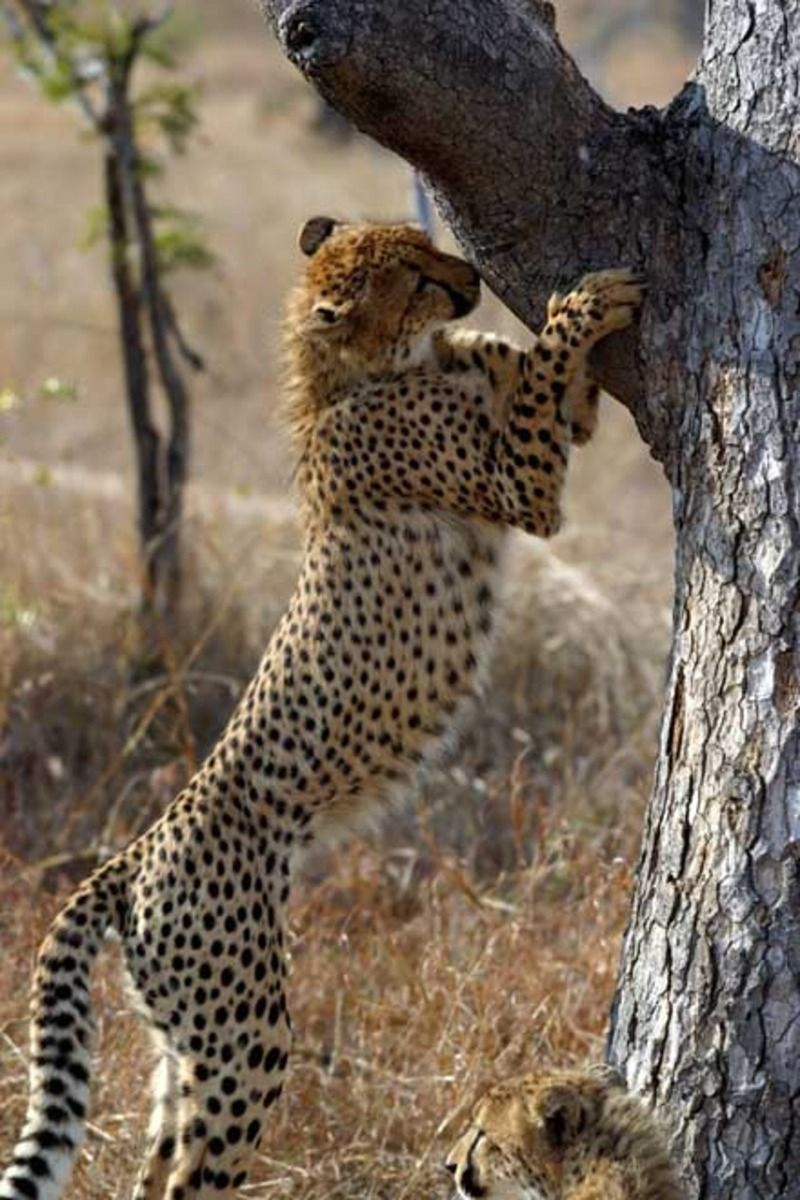 guepard_cc016.jpg