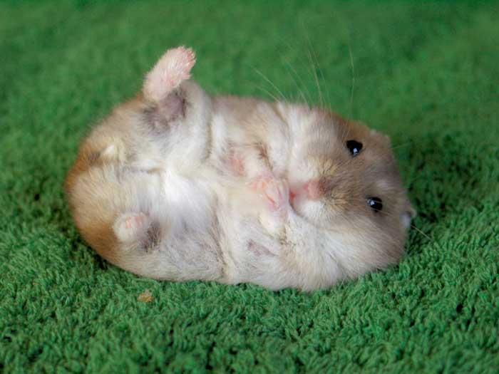 hamster_cc01-329789.jpg